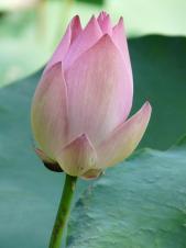 Lotus lotus blossom flower